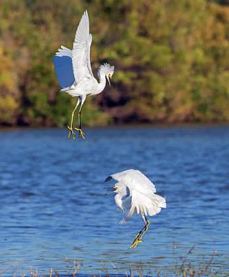 Photograph - Snowy Egret Fight 8847-110918-1cr by Tam Ryan