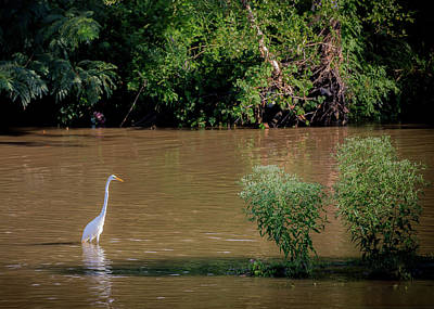 Photograph - Snowy Egret In Cameron Run by Lora J Wilson