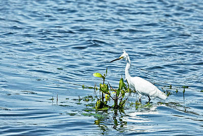 Photograph - Snowy Egret by Kay Brewer