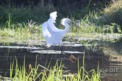 Photograph - Snowy Egret Over Beautiful Marsh by Carol Groenen