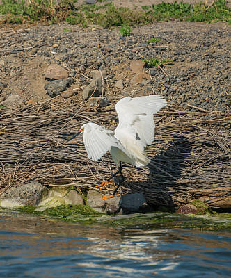 Photograph - Snowy Egret Spies A Fish by Loree Johnson
