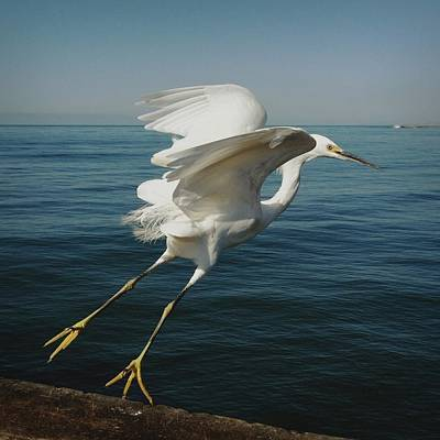 Photograph - Snowy Egret Taking Off Over Ocean by Shari Weaver Photography