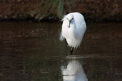 Photograph - Snowy Egret With Fish 2831-012819 by Tam Ryan