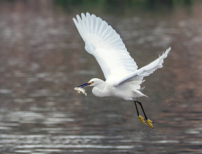 Photograph - Snowy Egret With Fish 2853-120218-1cr by Tam Ryan