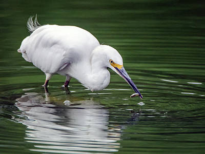 Photograph - Snowy Egret With Fish 3146-091918-1cr by Tam Ryan
