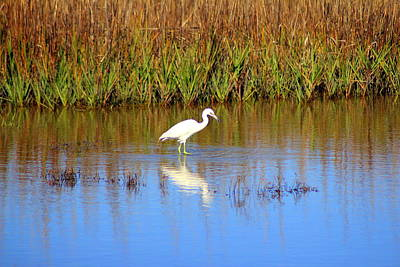 Photograph - Snowy Egret With Intense Stare by Cynthia Guinn