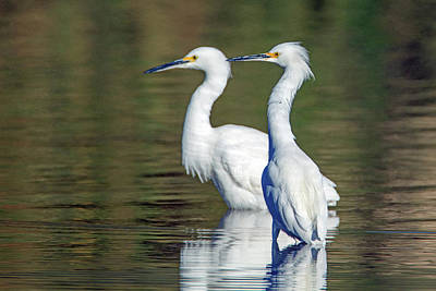 Photograph - Snowy Egrets 3250-120318-1 by Tam Ryan