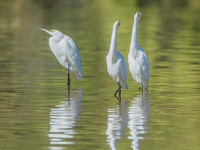 Photograph - Snowy Egrets 7637-110118-1cr by Tam Ryan
