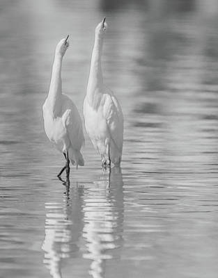 Photograph - Snowy Egrets 7637-110118-3cr-bw by Tam Ryan