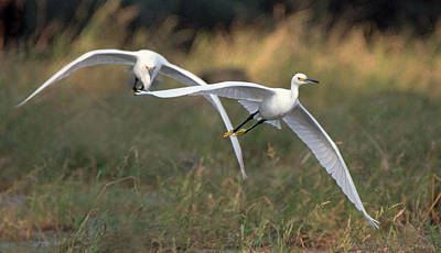 Photograph - Snowy Egrets 9390-111118-1cr by Tam Ryan