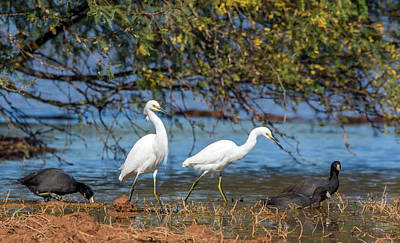 Photograph - Snowy Egrets And American Coots 9716-111218-1cr by Tam Ryan