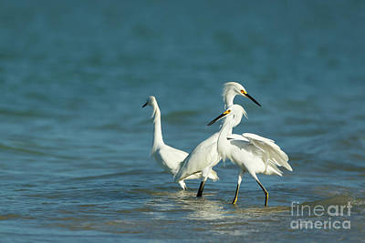 Photograph - Snowy Egrets by Beve Brown-Clark Photography