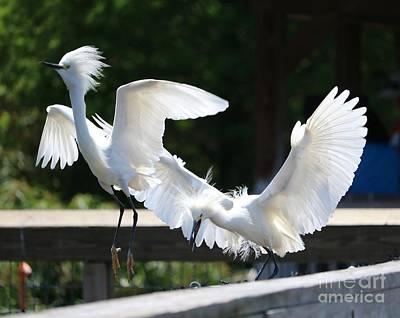 Photograph - Snowy Egrets Drama by Carol Groenen