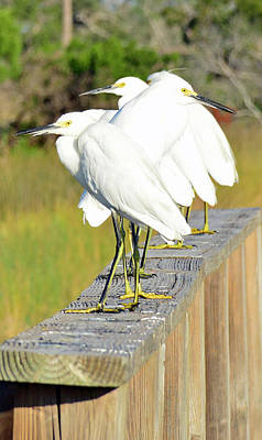 Photograph - Snowy Egrets Eyeballing A Marsh On Jekyll Island by Bruce Gourley