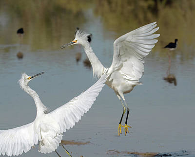 Photograph - Snowy Egrets Fight 1033-111718-1cr by Tam Ryan
