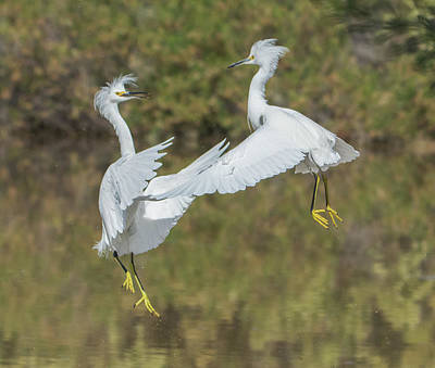 Photograph - Snowy Egrets Fight 1048-111718-1cr by Tam Ryan