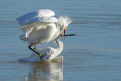 Photograph - Snowy Egrets Fight 3206-120318-1 by Tam Ryan