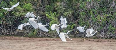 Photograph - Snowy Egrets Flight 4110-101218-2cr by Tam Ryan