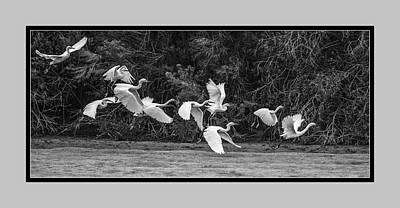 Photograph - Snowy Egrets Flight 4110-101218-4cr-bw by Tam Ryan