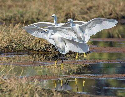 Photograph - Snowy Egrets Three 0743-111718-1cr by Tam Ryan