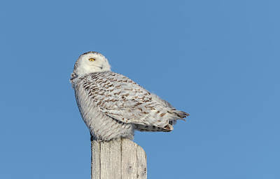 Photograph - Snowy Owl 2019-2 by Thomas Young