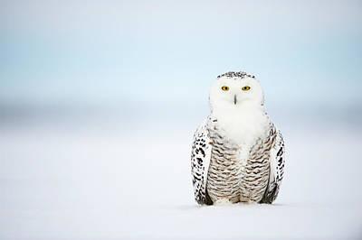 Photograph - Snowy Owl Bubo Scandiacus by Ben Cranke
