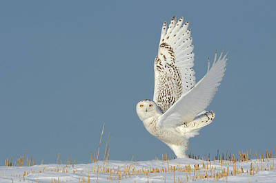 Birds In Snow Wall Art - Photograph - Snowy Owl Canada by Andy Rouse