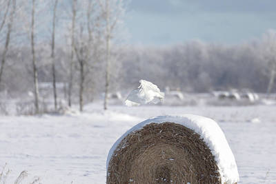 Photograph - Snowy Owl Hunting by Susan Rissi Tregoning