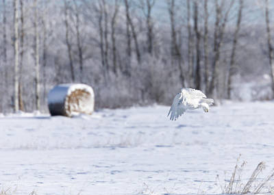 Photograph - Snowy Owl In Flight by Susan Rissi Tregoning
