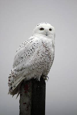 Photograph - Snowy Owl In Fog by Rick Veldman