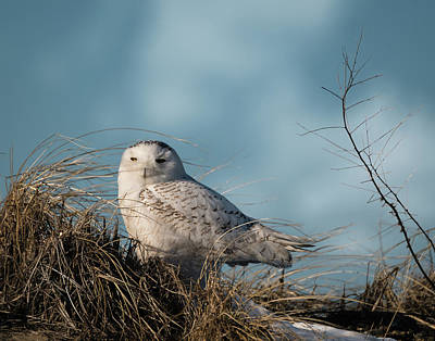 Photograph - Snowy Owl In The Dune Grass by Betty Denise
