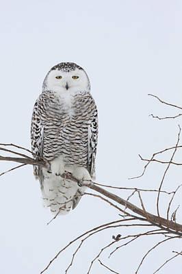 Bird Photograph - Snowy Owl Nyctea Scandiaca, Canada by Chris Van Rijswijk/ Buiten-beeld/ Minden Pictures