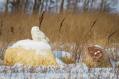 Photograph - Snowy Owl by Sheila Skogen