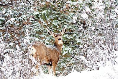 Photograph - Snowy Portrait Of A Mule Deer Doe by Steve Krull