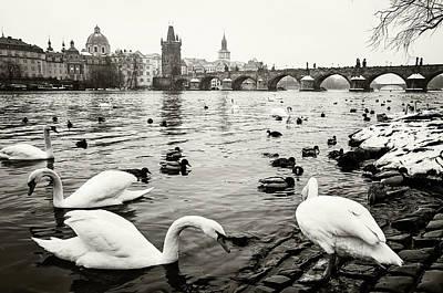 Photograph - Snowy Prague. Swans On Vltava River Bank by Jenny Rainbow