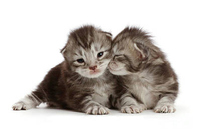 Photograph - Snuggling Baby Kittens by Warren Photographic