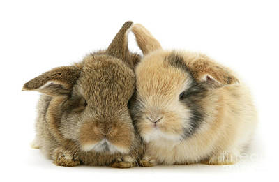 Photograph - Snuggly Love Bunnies by Warren Photographic