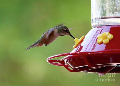 Photograph - So Sweet Hummingbird by Carol Groenen