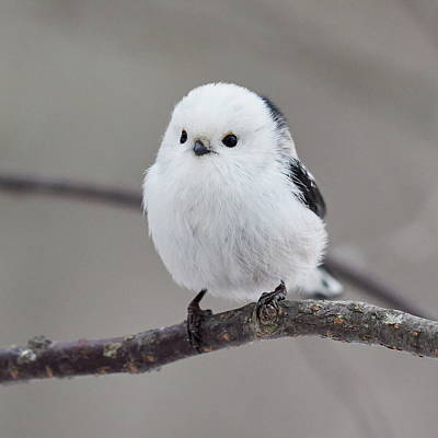 Jouko Lehto Royalty-Free and Rights-Managed Images - So white so beautiful. Long-tailed tit by Jouko Lehto