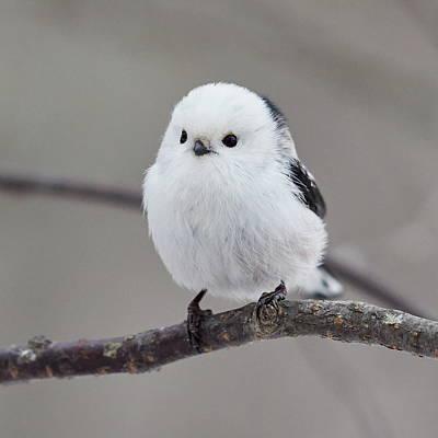 Jouko Lehto Royalty-Free and Rights-Managed Images - So white so beautiful. Long-tailed tit by Jouko Lehto