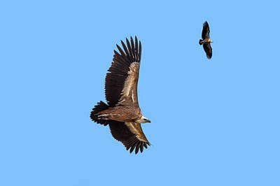 Photograph - Soaring Vultures by Arterra Picture Library