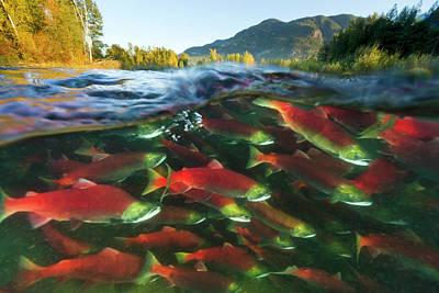 Photograph - Sockeye Salmon Oncorhynchus Nerka Group by Yva Momatiuk & John Eastcott/ Minden Pictures