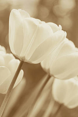 Photograph - Soft Brown Tulips by Jennie Marie Schell