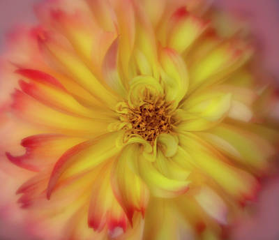 Photograph - Soft Curves Dahlia by Mary Jo Allen