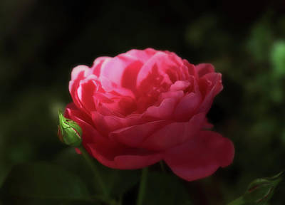Photograph - Soft Red Rose In The Evening Light by Johanna Hurmerinta