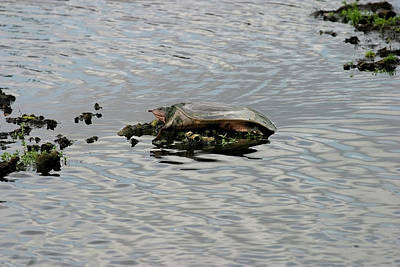 Photograph - Soft Shell Turtle by Anthony Jones
