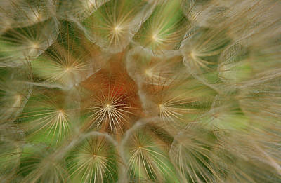 Salsify Wall Art - Photograph - Soft Universe by Sonofsteppe