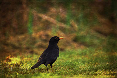 Photograph - Solitary Blackbird by Tikvah's Hope
