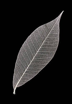 Photograph - Solitary Skeleton Leaf by Gary Slawsky