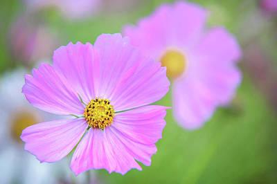 Photograph - Sonata Pink. Cosmos Flower by Jenny Rainbow